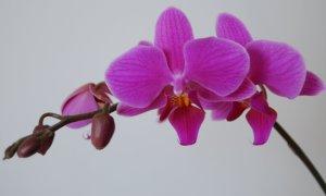 Una orquídea romana, nunca demasiado bella.