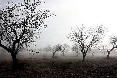 Almendros en la niebla