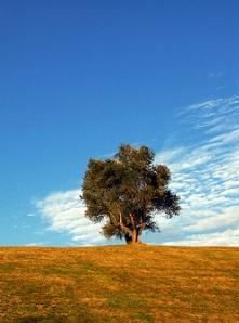 «olivo // olive tree», foto de R. Duran, 13 de junio de 2007 (detalle).